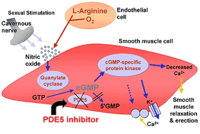 the work of PDE5 inhibitors